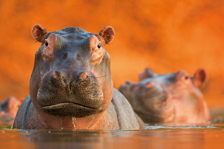 Pool of Hippos
